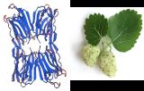Morus Alba Lectin (White mulberry) (MLL)