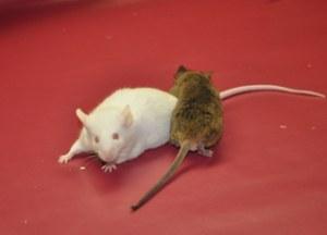 Custom service : TARGATT Fast & Site-Specific Transgenic Mice