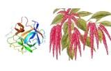 Amaranthus caudatus lectin (ACL/ACA)