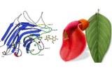 Erythrina cristagalli lectin (ECL/ECA)